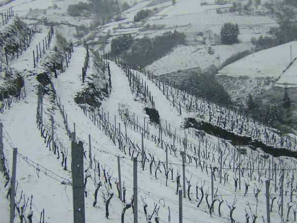 Viñedo nevado después de la poda
