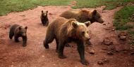 familia de osos pardos en muniellos