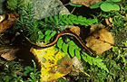 Salamandra rabilarga Reserva de la Biosfera de Muniellos