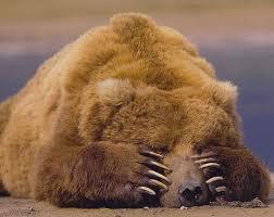 oso en fuentes del narcea